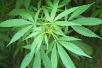 420 (Día del Cannabis) 2018