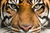 Día Internacional del Tigre 2017